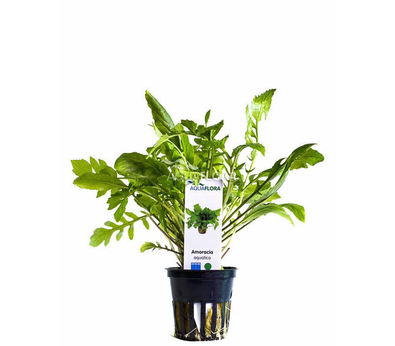 Amoracia Aquatica - Rorippa aquatica