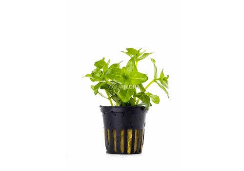 Aquaflora Bacopa Caroliniana