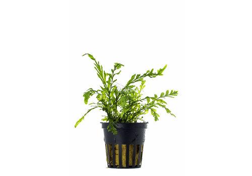 Aquaflora Bolbitis Heudelotii