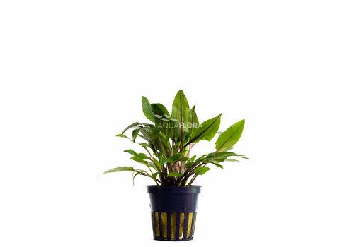 Aquaflora Cryptocoryne wendtii 'Green'