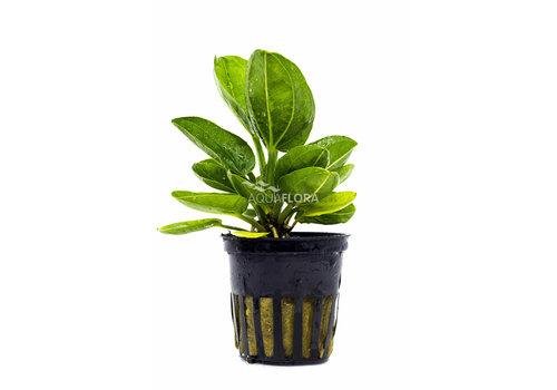 Aquaflora Echinodorus Horizontalis