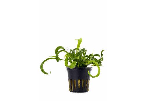 Tropica Helanthium 'Vesuvius'