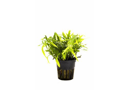 Aquaflora Microsorum pteropus 'Trident'