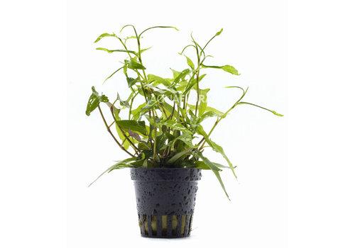 Aquaflora Persicaria praetermissa