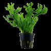 Microsorum Pteropus 'Twisted Leaf'