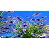 Purple Harlequin Rasbora - Rasbora Heteromorpha (Purple)