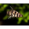 Eirmotus Octozona - Achtstreep Barbeel