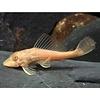 Hypostomus Plecostomus Gold - XL