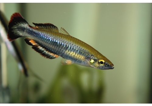 Bedotia Geayi - Madagascar Regenboog