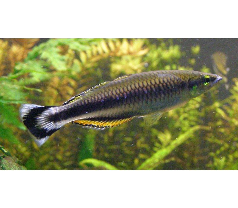Madagascar Rainbow Fish - Bedotia Geayi