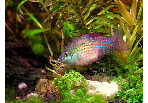 Florida Flagfish