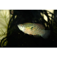Florida Flagfish - Jordanella Floridae