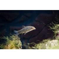 Zebra Loach - Botia Striata