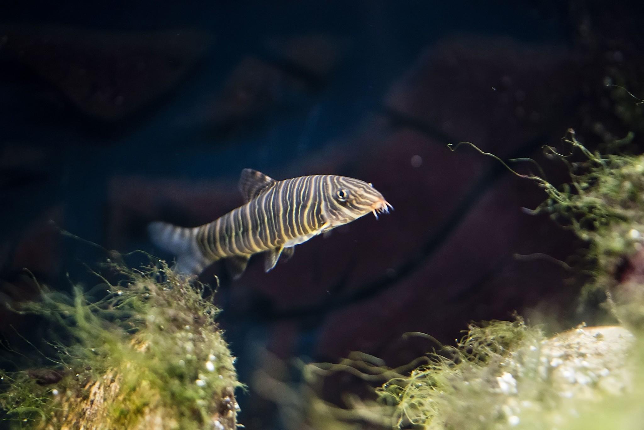 Zebra Loach Botia Striata Aqua Natura Your Online Aquarium Shop