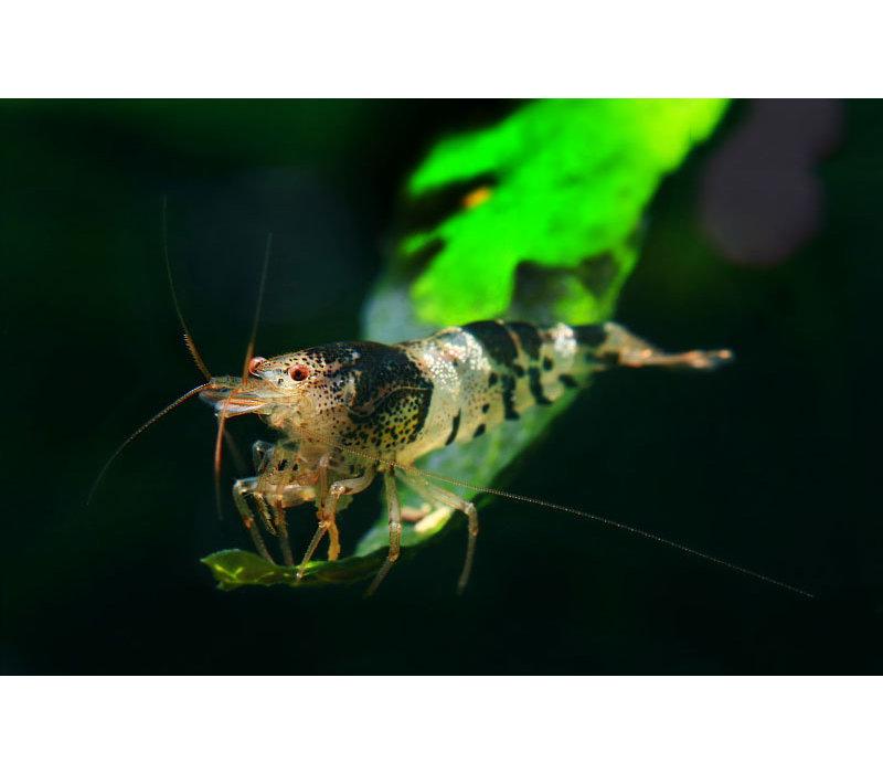 Bee Shrimp - Caridina Cantonensis