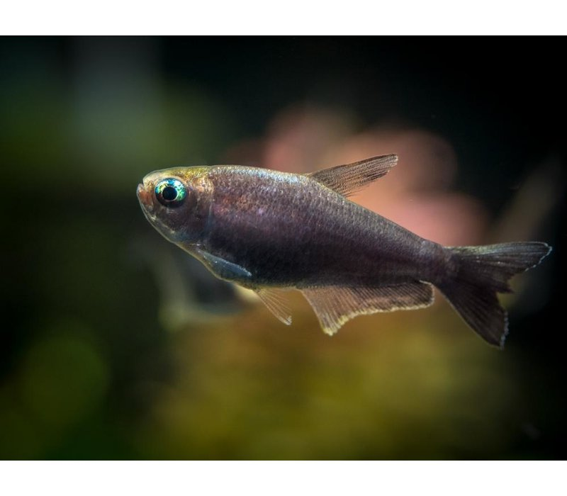 Zwarte Keizertetra - Nematobrycon Palmeri Black