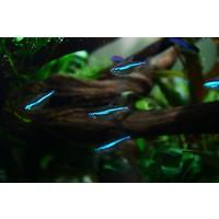 Green Neon Tetra - Paracheirodon Simulans