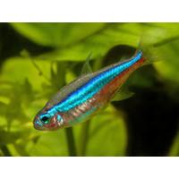 Blauwe Neon - Paracheirodon Simulans