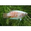 Albino Paradise Fish - Macropodus Opercularis
