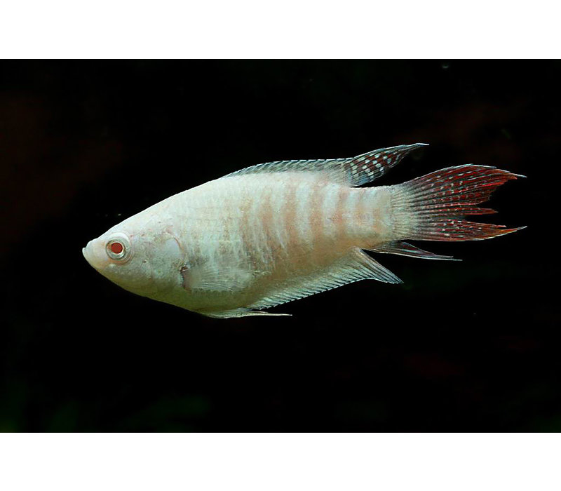 Paradijsvis Albino - Macropodus Opercularis
