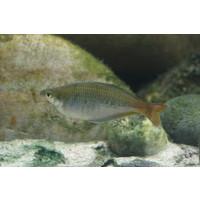 Parkinson's Rainbowfish - Melanotaenia Parkinsoni