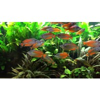 Parkinson's Rainbowfish - Melanotaenia Parkinsoni