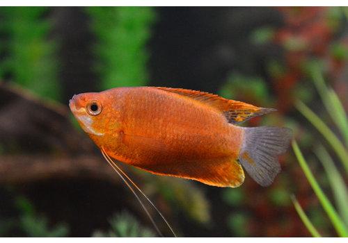 Thick-Lipped Gourami Orange