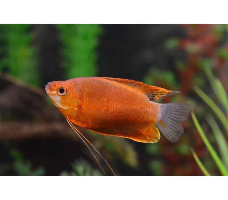 Diklip Gourami Oranje - Trichogaster Labiosa Orange