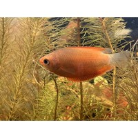 Thick-Lipped Gourami Orange - Trichogaster Labiosa Orange