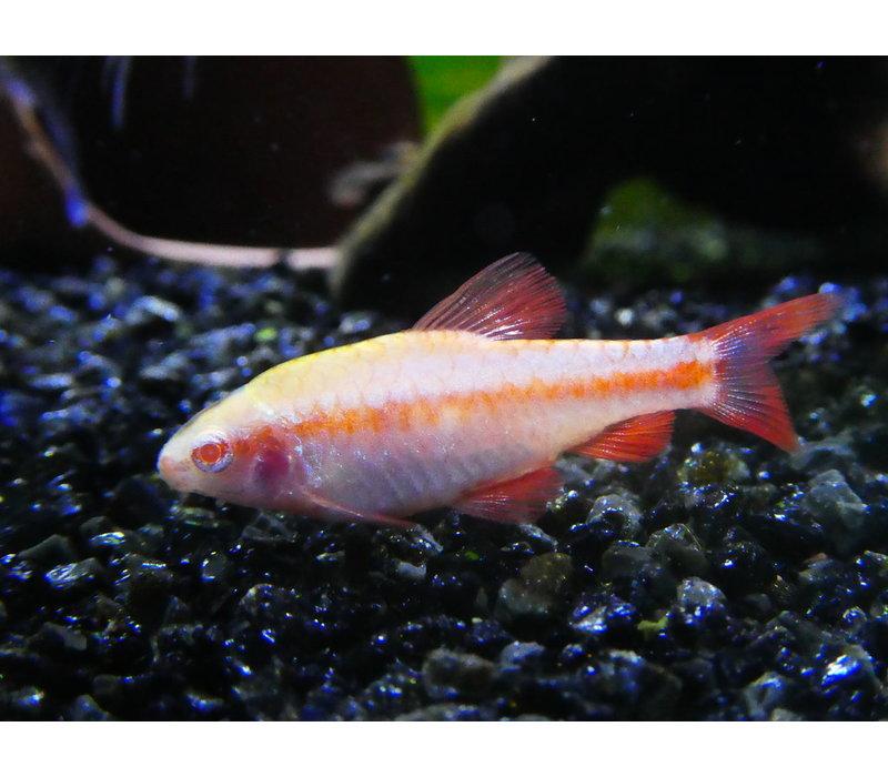 Albino Cherry Barb - Barbus Titteya