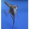 "Leopard Angelfish - Pterophyllum ""Scalare"""