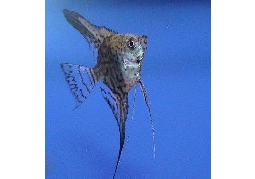 Leopard Angelfish