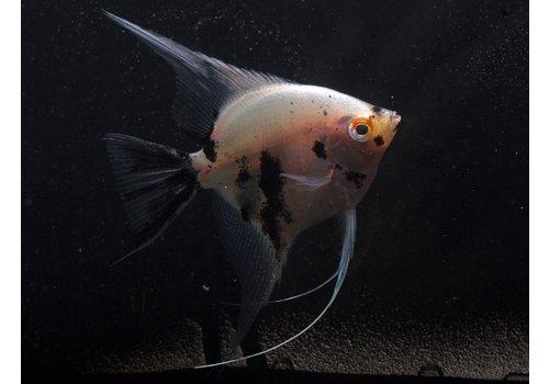 Panda Angelfish