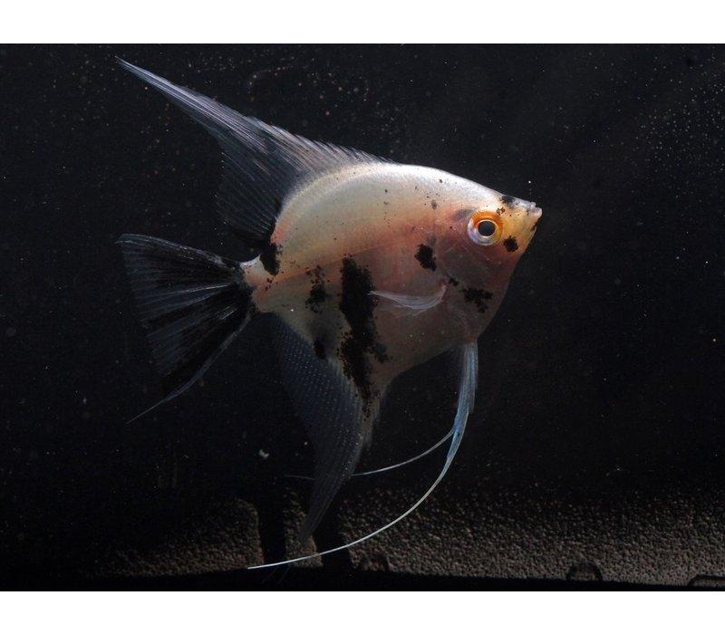 "Panda Angelfish - Pterophyllum ""Scalare"""