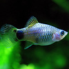 Blue Platy - Xiphophorus Maculatus