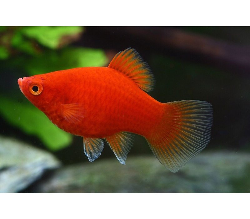 Red Platy - Xiphophorus Maculatus