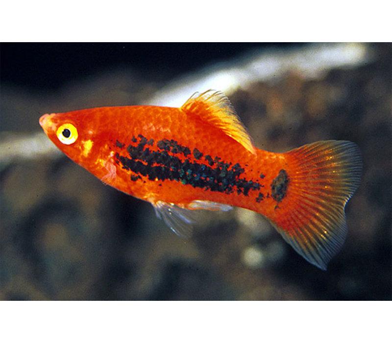 Orange Tuxedo Platy - Xiphophorus Maculatus
