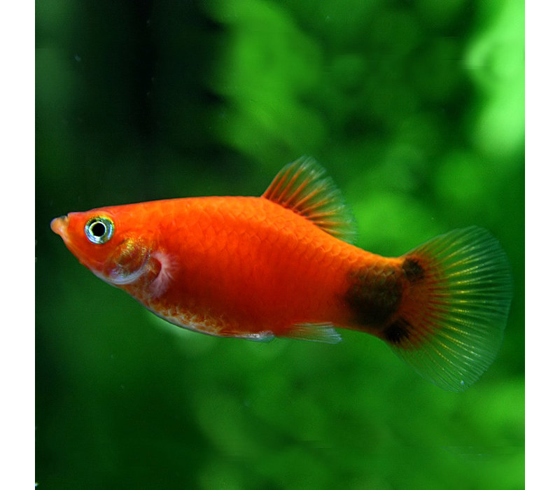 Red Micky Mouse Platy  - Xiphophorus Maculatus