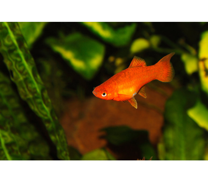 Orange Neon Platy - Xiphophorus Maculatus