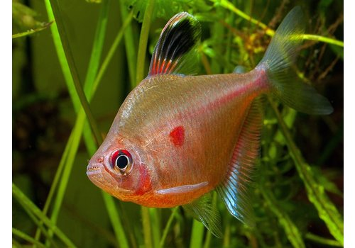 Bleeding Heart Tetra