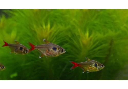 Yellow Phantom Tetra