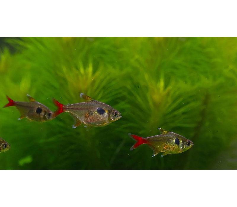Gele Fantoomzalm - Hyphessobrycon Roseus