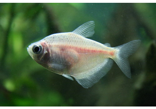 Black Widow Tetra (Albino)