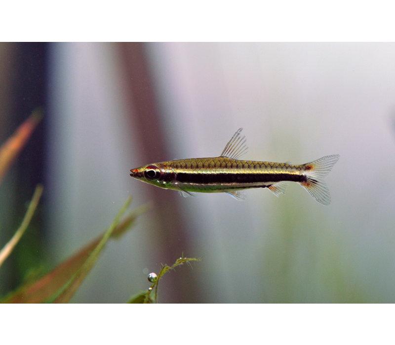 3-bandspitszalm - Nannostomus Trifasciatus