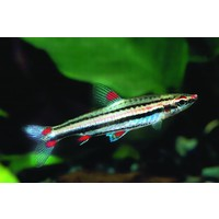 Three-lined Pencilfish - Nannostomus Trifasciatus