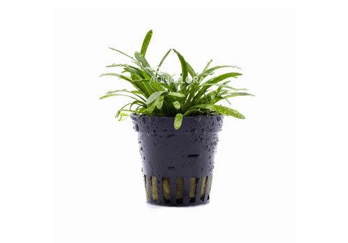 Aquaflora Sagittaria Subulata 'Teres'