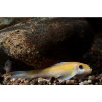 Chinese Algae Eater (Gold) - Gyrinocheilus Aymonieri