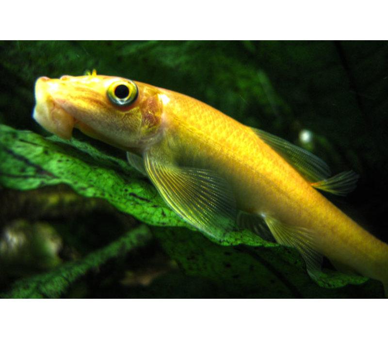 Chinese Algeneter (Goud) - Gyrinocheilus Aymonieri