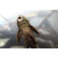 Common Pleco - Hypostomus Plecostomus