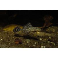Pleco - Hypostomus Plecostomus